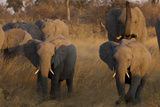 Elephant Herd Walking Raised Trunk Through Grassland at Sunset in Northern Botswana Photographic Print by Beverly Joubert
