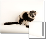 A Critically Endangered Black and White Ruffed Lemur, Varecia Variegata, Lincoln Children's Zoo Posters by Joel Sartore