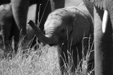 Close Up of Elephant Calf Amongst Herd Raising its Trunk in Northern Botswana Photographic Print by Beverly Joubert