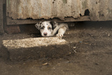 A Puppy Looks under a Door Photographic Print by Jeff Mauritzen
