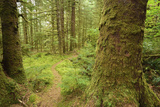 A Trail Through a Moss-Covered Temperate Rainforest Photographic Print by Jonathan Kingston