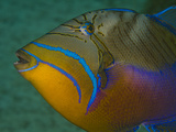 Close Up Portrait of a Queen Triggerfish Photographic Print by Jim Abernethy