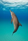 Portrait of an Atlantic Spotted Dolphin Swimming in Clear Blue Water Fotografisk trykk av Jim Abernethy