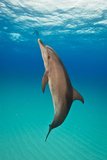 Portrait of an Atlantic Spotted Dolphin Swimming in Clear Blue Water Photographic Print by Jim Abernethy