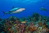 A Caribbean Reef Shark Swimming over a Reef Photographic Print by Jim Abernethy