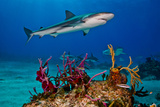 Caribbean Reef Sharks Swimming over a Reef Photographic Print by Jim Abernethy
