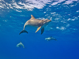Three Bottlenose Dolphins Swimming in Clear Blue Water Photographic Print by Jim Abernethy