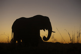 Elephant Grazing Silhouette in Sunset in Northern Botswana Photographic Print by Beverly Joubert