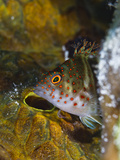 A Red Spotted Hawkfish Hiding Among Sponges Photographic Print by Jim Abernethy