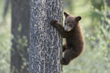 As a Black Bear Cub, Ursus Americanus, Climbs, it Looks to See Where its Sibling Is Photographic Print by Barrett Hedges