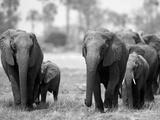 Elephant Herd Walking in Northern Botswana Fotografisk tryk af Beverly Joubert