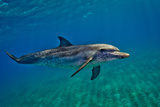 Portrait of an Atlantic Spotted Dolphin Swimming in Clear Water Photographic Print by Jim Abernethy