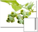 Unripe Lowbush Blueberries, Vaccinium Angustifolium Prints by Joel Sartore