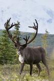 A Caribou, Rangifer Tarandus, in Denali National Park Reprodukcja zdjęcia autor Barrett Hedges