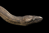 A Puerto Rican Boa, Chilabothrus Inornatus, at the Palm Beach Zoo Photographic Print by Joel Sartore