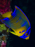 Portrait of a Juvenile Queen Angelfish Swimming Photographic Print by Jim Abernethy