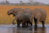 Elephants Drinking in a Spillway in Northern Botswana Photographic Print by Beverly Joubert