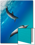 Two Atlantic Spotted Dolphins Swimming in Clear Blue Water Posters by Jim Abernethy