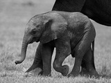 Close Up of Elephant Calf Walking Next to it's Mother Photographic Print by Beverly Joubert