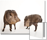 Collared Peccaries, Pecari Tajacu, at the Omaha Zoo's Wildlife Safari Park Prints by Joel Sartore