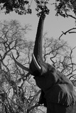 Elephant Stretching Trunk Up to Graze from a Tree in Northern Botswana Photographic Print by Beverly Joubert