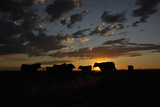 Cattle in a Pasture are Silhouetted by the Sunrise Photographic Print by Michael Forsberg