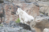 A Mountain Goat, Oreamnos Americanus, Stands on a Cliff Photographic Print by Barrett Hedges