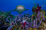 A Nurse Shark Swimming over a Reef Photographic Print by Jim Abernethy