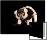 A Critically Endangered Black and White Ruffed Lemur, Varecia Variegata, Lincoln Children's Zoo Art by Joel Sartore