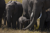 Elephant Herd Walking Calf Stretching Trunk Out Towards its Mother in Northern Botswana Photographic Print by Beverly Joubert