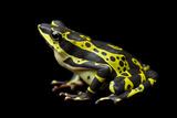 A Rare Limon Harlequin Frog, Atelopus Limon Photographic Print by Joel Sartore