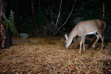 A White-Tailed Deer Forages in the Forest at Night Photographic Print by Michael Forsberg