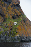 A Polar Bear Descends a Cliff on a Small Island in Search of Little Auks Photographic Print by Andy Mann
