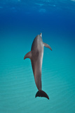 An Atlantic Spotted Dolphin Swimming in Clear Blue Water Photographic Print by Jim Abernethy