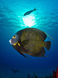 Portrait of a French Angelfish Swimming Photographic Print by Jim Abernethy