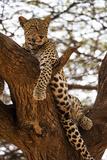 A Leopard, Panthera Pardus, Perches in a Tree Fotografisk trykk av Pete McBride