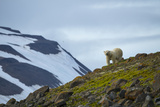 A Polar Bear on a Small Island on the Lookout for Little Auks Photographic Print by Andy Mann