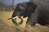 Close Up of Elephant Walking and Grazing in Northern Botswana Photographic Print by Beverly Joubert