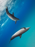 Two Atlantic Spotted Dolphins Swimming in Clear Blue Water Photographic Print by Jim Abernethy