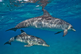 Two Atlantic Spotted Dolphins Swimming in Clear Water Photographic Print by Jim Abernethy