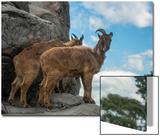 Himalayan Tahr, Hemitragus Jemlahicus, at the Taronga Zoo Poster by Joel Sartore