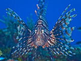 Close Up Portrait of a Lionfish Photographic Print by Jim Abernethy