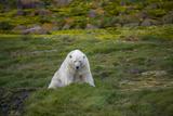 A Polar Bear on Small Island Where He Eats Little Auks Photographic Print by Andy Mann