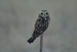 A Short-Eared Owl Perches on a Post at Sunset Photographic Print by Michael Forsberg