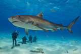A Tiger Shark Swimming at the Sea Floor Near a Group of Divers Fotografisk tryk af Jim Abernethy