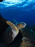 A Loggerhead Sea Turtle Swimming in a Reef Photographic Print by Jim Abernethy