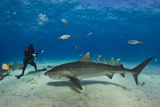 A Tiger Shark Swimming at the Sea Floor Near a Diver Photographic Print by Jim Abernethy