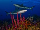 Caribbean Reef Sharks Swimming over a Colorful Reef Photographic Print by Jim Abernethy