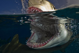 Close Up of a Lemon Shark Preparing to Bite Down at the Water's Surface Photographic Print by Jim Abernethy