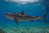 Portrait of a Tiger Shark Swimming at the Sea Floor Fotografie-Druck von Jim Abernethy